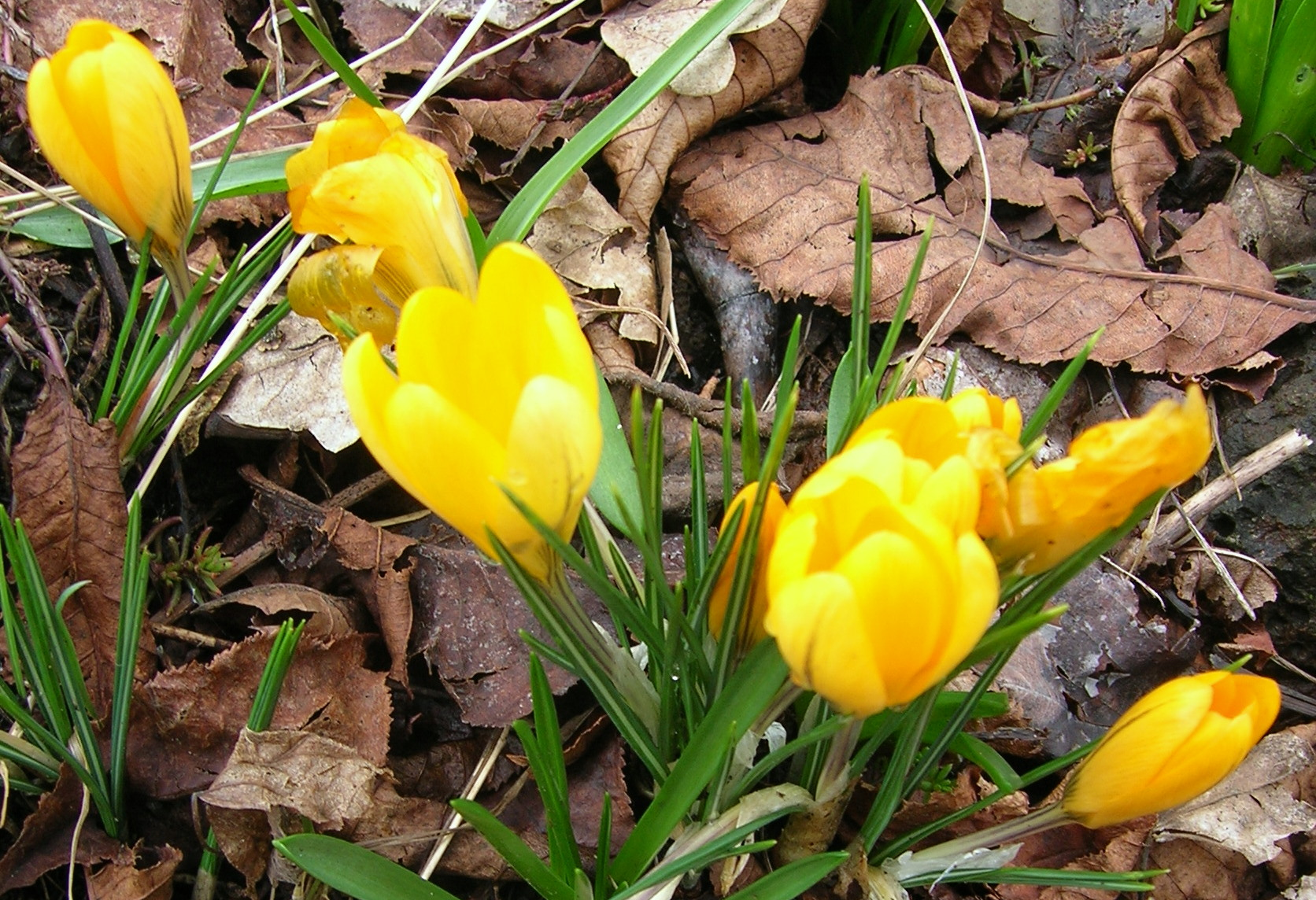 yellowcrocuses